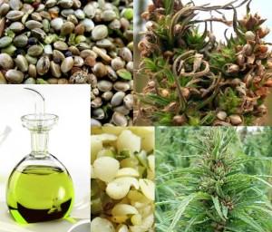Hemp's Beneficial Omega 6 GLA Fatty Acid An impressive Spectrum of Benefits